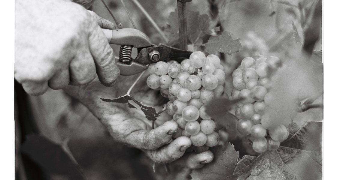 Champagne Jean Boucton Vendanges